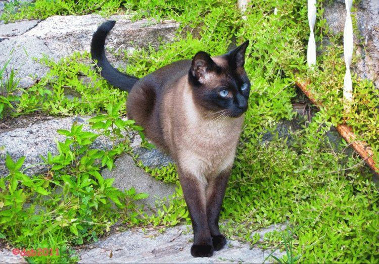 Сіамський кіт фото 3