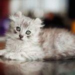 Американський керл кошеня