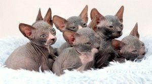 Донський сфінкс кошенята