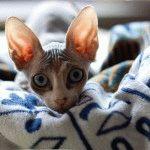 Донський сфінкс кішка