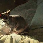 Донський сфінкс фото кішки