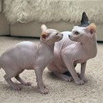 Коти донський сфінкс фото