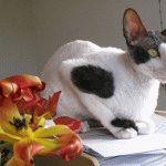 Коти породи Корніш рекс