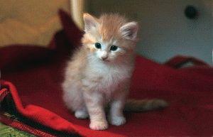 Кошеня норвезької лісової кішки