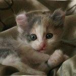 Кошеня породи Американський керл