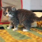 Кошеня породи Норвезький лісовий кіт