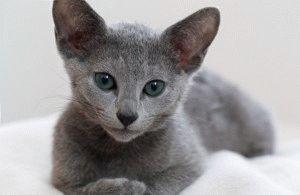 Кошеня породи Російський блакитний кіт
