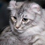 Кіт Американський керл