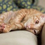 Кіт Корніш рекс