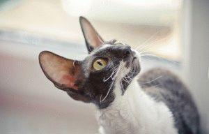 Кіт породи Корніш рекс фото