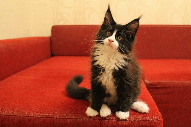 Кіт породи Мейн-кун фото