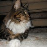 Мейн-кун порода котів