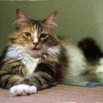 Норвезький лісовий кіт купити