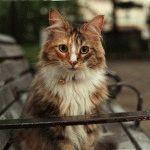 Норвезький лісовий кіт фото 2