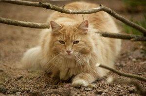 Норвезький лісовий кіт фото