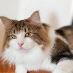 Норвезький лісовий кіт фото 4