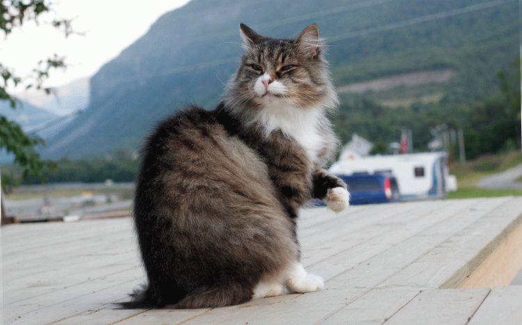 Норвезький лісовий кіт характер