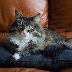 Норвезький лісовий кіт ціна