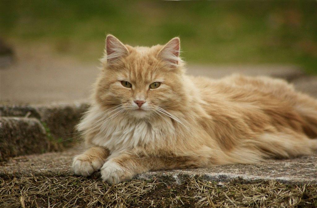 Норвезький лісовий кіт