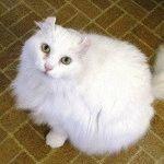 Порода котів Американський керл фото
