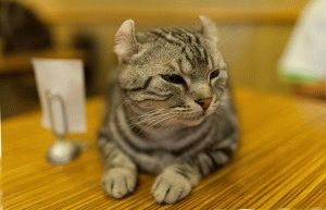 Порода котів Американський керл