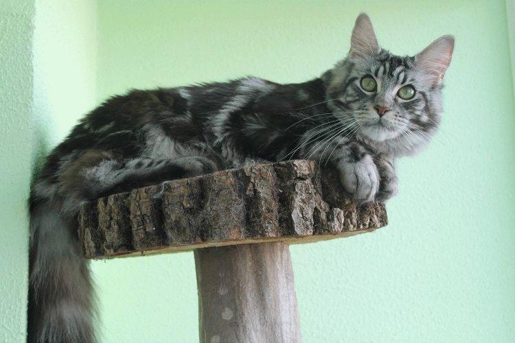 Порода котів Мейн-кун фото