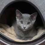 Російське блакитне кошеня