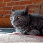 Російський блакитний кіт догляд