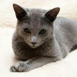 Російський блакитний кіт фото