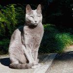 Російський блакитний кіт фото 3Російський блакитний кіт фото 3