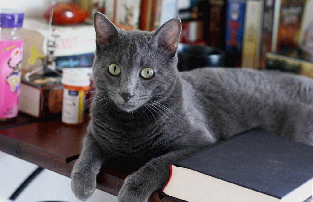Російський блакитний кіт характер