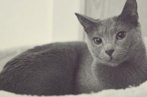 Російський блакитний кіт