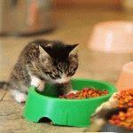 Скільки раз годувати кошеня
