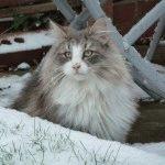 Фото норвезького лісового кота
