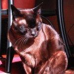 Бурманський кіт догляд