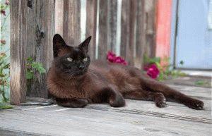 Бурманський кіт фото
