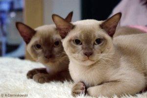 Бурманські коти фото