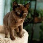 Бурма кошеня