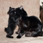 Коти породи Курильський бобтейл