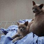 Коти породи бурма