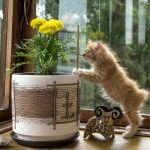 Курильський бобтейл кошеня фото