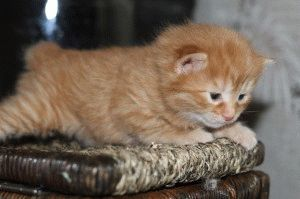 Курильський бобтейл кошеня