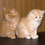 Курильський бобтейл фото кошенят