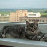 Кіт Курильський бобтейл