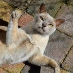 Порода котів бурманська