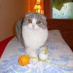Розплідник Шотландських висловухих котів «Сeltwell»