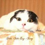 Розплідник Шотландських висловухих котів «Dolce Gatto»