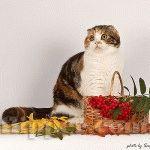 Розплідник Шотландських висловухих котів «FLIPPER»