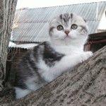 Розплідник Шотландських висловухих котів «Plush Happiness»
