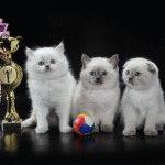 Розплідник Шотландських висловухих котів «SCOTCH RIDDLE»
